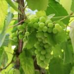 """白葡萄品种Albarino在加州拥有""""光明的未来"""""""