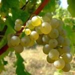 2011.06.06万欧兰葡萄酒俱乐部系列77,端午一起长相思