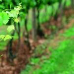 """2012.06.10万欧兰葡萄酒俱乐部系列92,""""葡萄牙马德拉,加强葡萄酒之星"""""""