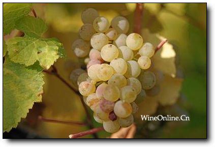 雷司令(Riesling)葡萄品种介绍
