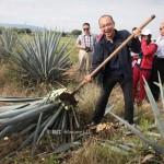 墨西哥特其拉-Tequila原料龙舌兰的采收视频