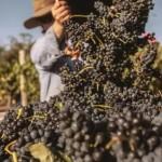 2015年澳大利亚葡萄收获报告发布!