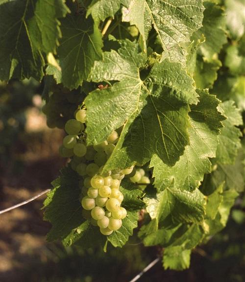 Chardonnay_Avize