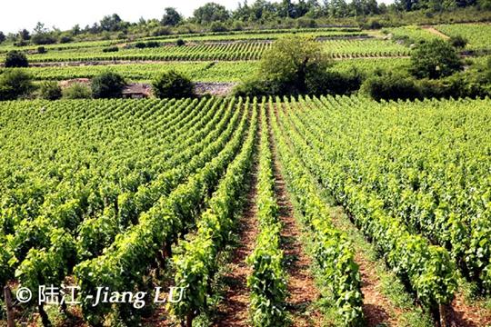2015年份法国葡萄采收季综合报告
