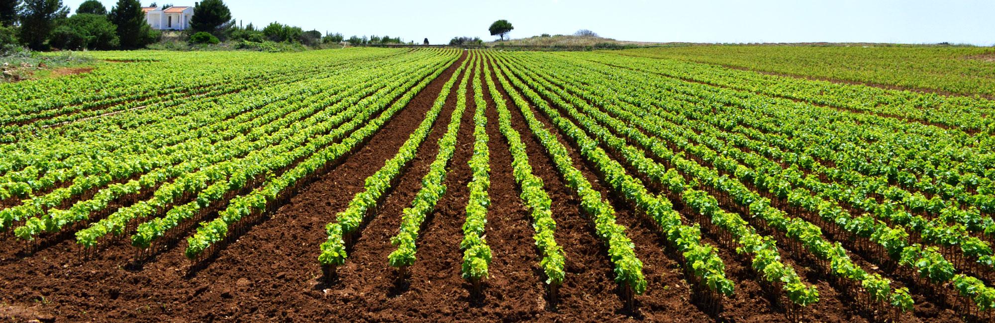 Puglia_vines