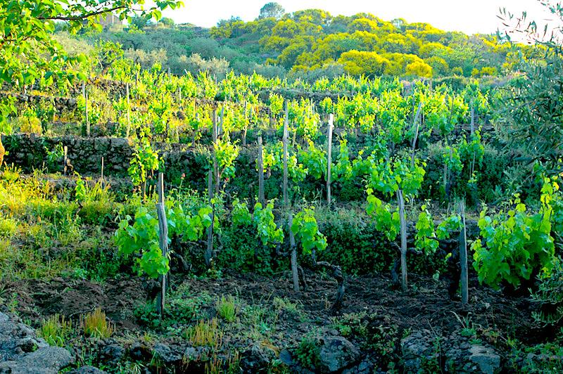 Terre Nere-Spring in Guardiola vineyard