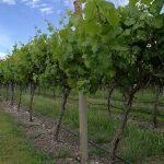 澳大利亚葡萄酒对中国大陆出口额再创历史新高