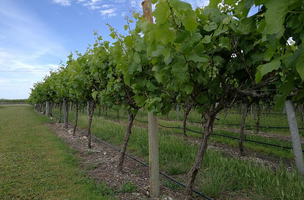 vineyardKatnook