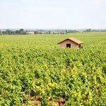 最新 | 勃艮第葡萄酒2017官方收成报告,灾年产量不跌反涨