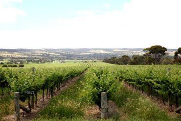 2019 年澳大利亚酿酒葡萄收获超过预计产量